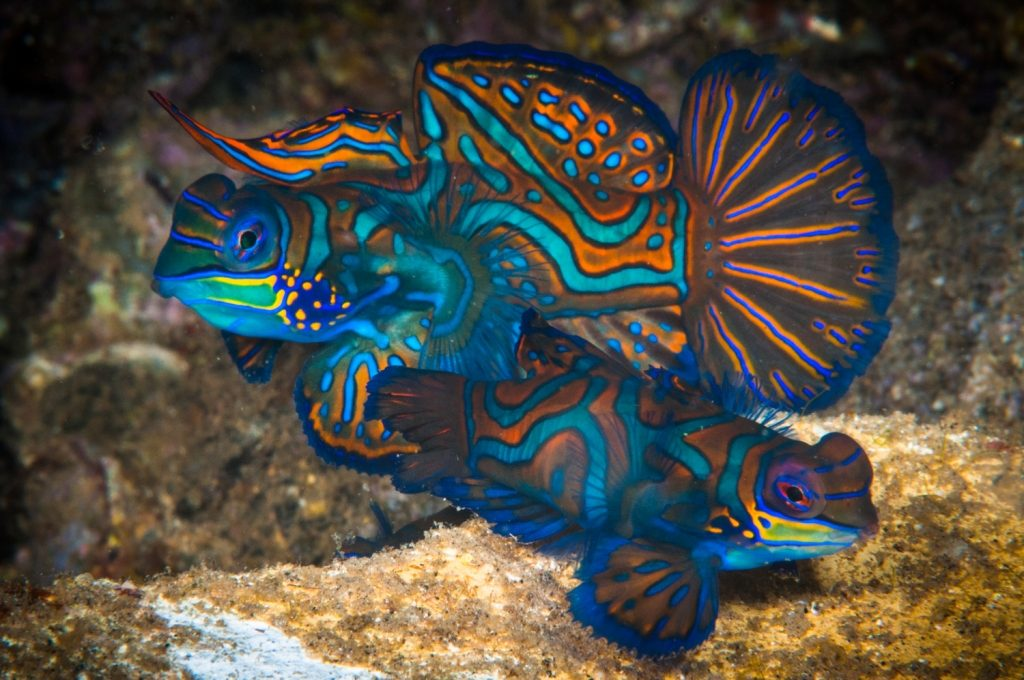 mandarin-fish-pinneng